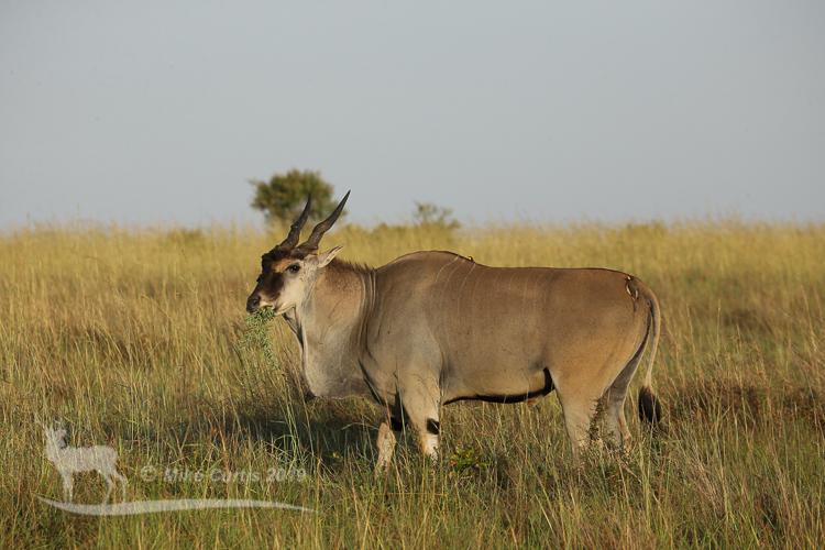 Bull Eland....