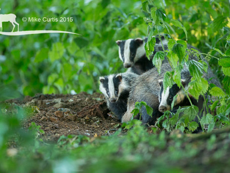 Awesome Badger viewing