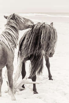 Sable Island wild horse lovingly grooming another wild horse with long black mane