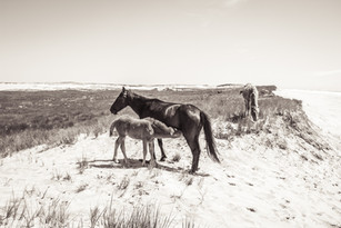 Sable Island wild horse foal suckling from mother horse on white sand beach by the ocean