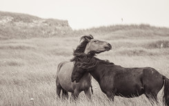 Sable Island wild horses fighting