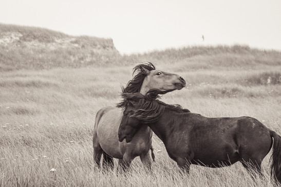 Sable Island wild horses fighting