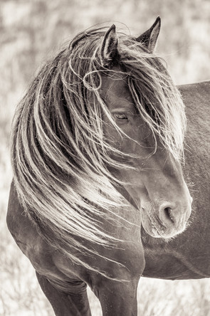Sable Island wild horse with long mane standing in the wind