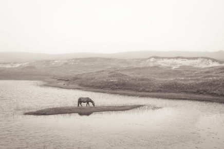 Sable Island wild horse standing in water, beautiful foggy landscape