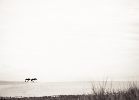 Sable Island wild horses walking over sand dune, beautiful landscape photography