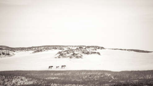 Three Sable Island wild horses walking over sand dune. Landscape photography