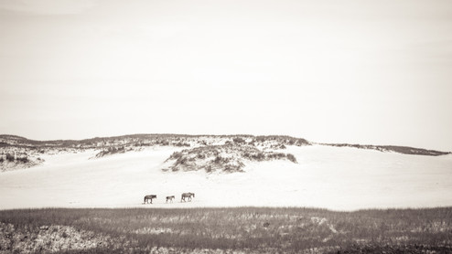 Three Sable Island wild horses walking over sand dune. Landscape photography