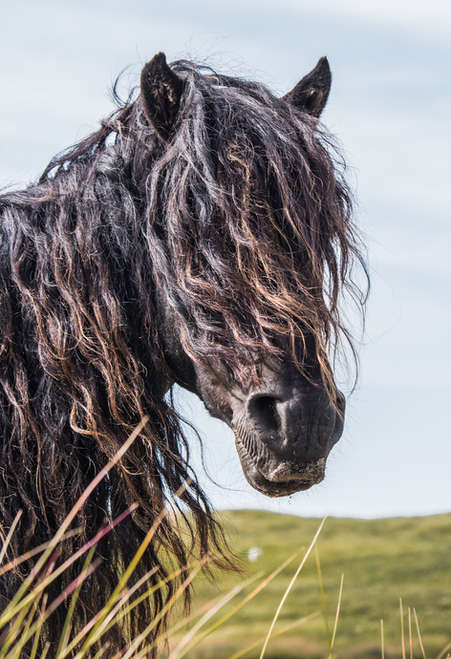 Sable Island wild horse portrait with long wavy black mane standing in the wind