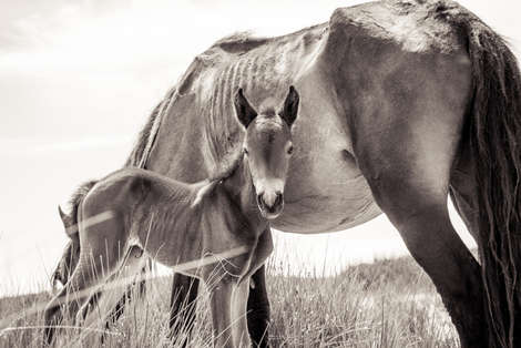 Sable Island wild horse foal standing under malnourished mother