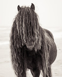 Sable Island wild horse with long black mane on white sand beach
