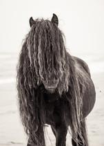 Sable Island wild horse with long black mane on white sand beach