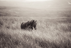 Sable Island wild horse walking through tall grass with long mane