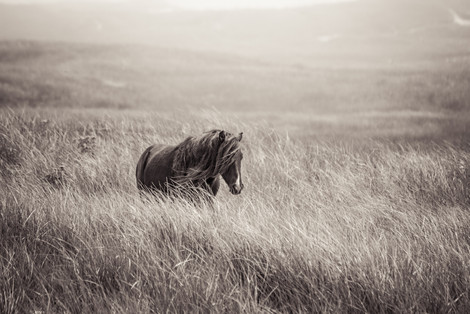 Sable Island wild horse walking through tall grass with long mane