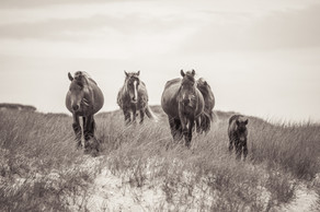 Sable Island wild horse family standing in beautiful landscape