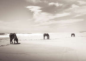 Sable Island wild horses walking on white beach by the ocean
