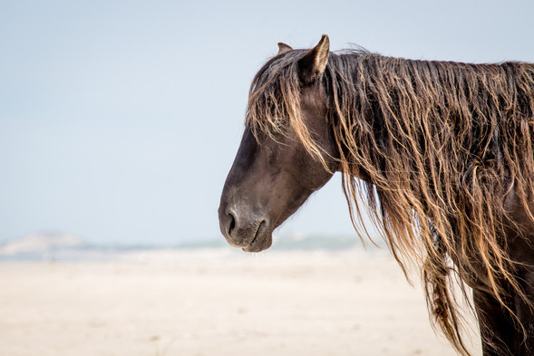 Sable Island wild horse with long mane portrait. Standing on white beach