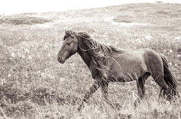 Sable Island wild horse running in grass with long flowing hair