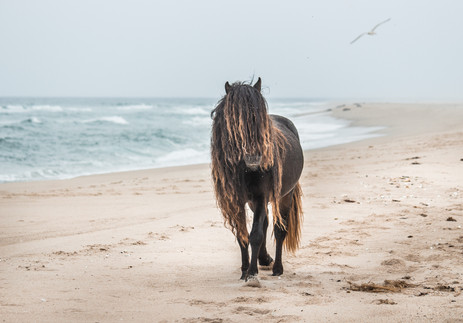Sable Island wild horse with long beautiful mane walking on white beach by the ocean