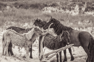 Sable Island wild horse family grooming each other