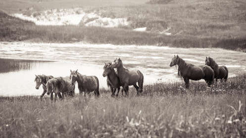 Sable Island wild horses running by water