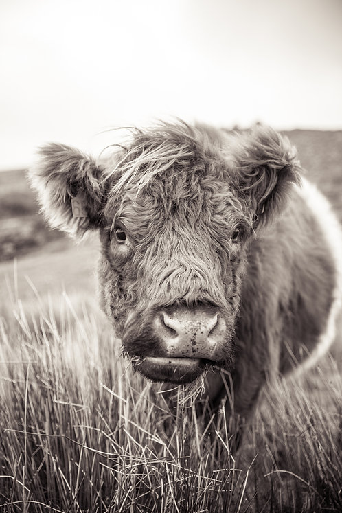Belted Galloway Cow Portrait