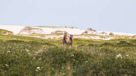 Sable Island wild horse landscape. Horses standing in beautiful landscape with white sand dunes
