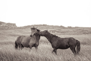 Sable Island wild horses greeting each other lovingly