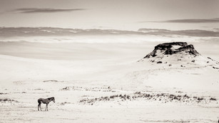 Sable Island wild horse foal standing on white sand with beautiful landscape