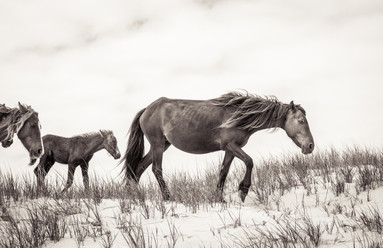 Sable Island wild horse family walking over a sand dune, beautiful landscape photography