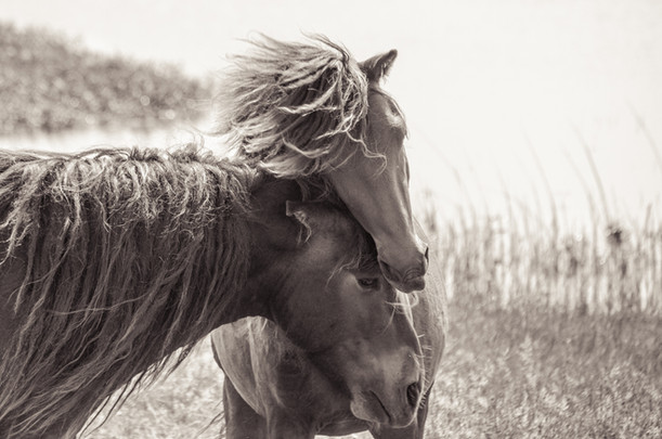 Sable Island wild horses standing together lovingly