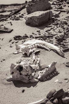 Sable Island wild horse skull laying on beach