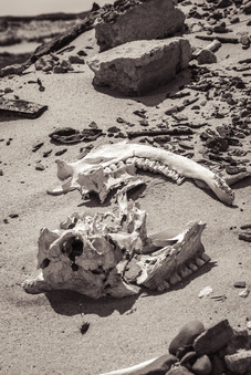 Sable Island wild horse skull laying on beach
