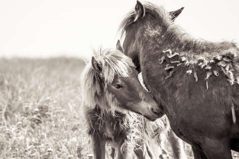 Sable Island wild horse grooming another horse lovingly