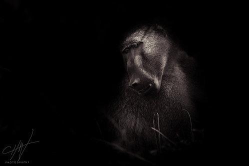 Fine Art Africa Baboon