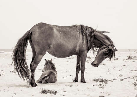 Sable Island wild horse with foal on white sand beach