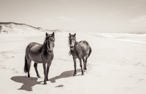 Sable Island wild horses standing on white beach by ocean with beautiful landscape