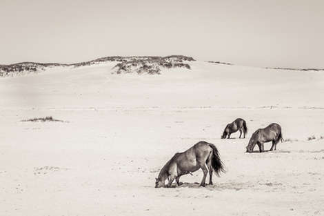 Three Sable Island wild horses digging holes in sand to drink water on white sand beach
