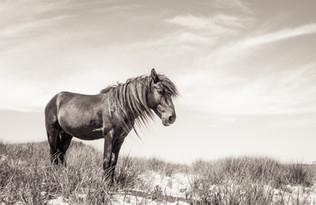 Sable Island wild horse portrait standing with sky in background