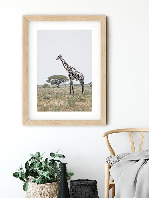 Giraffe Kalahari Desert