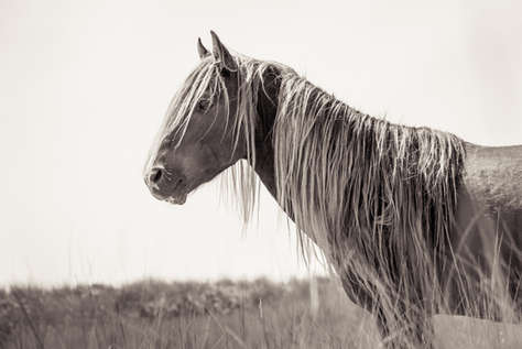 Sable Island wild horse with long mane