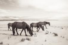 Sable Island wild horse family crossing a white beach