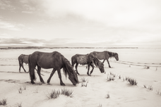 Sable Island wild horse family crossing a white beach