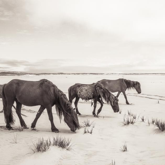 SABLE ISLAND WILD HORSES