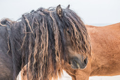 Sable Island wild horse with long wavy mane standing on a beach