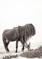 Sable Island wild horse with long wavy black mane standing on white sand beach
