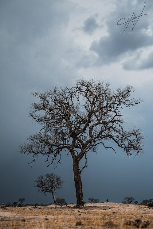 Big Tree Hwange