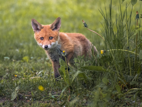 On the hunt to photograph foxes in Stockholm, Sweden!