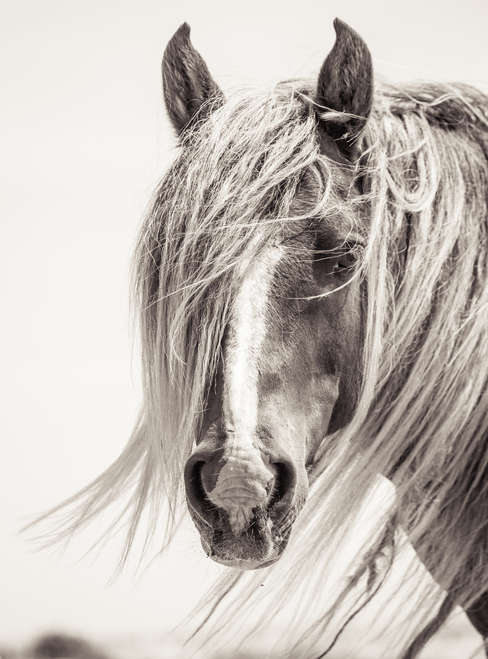 Sable Island wild horse portrait with long mane standing in the wind