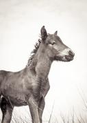 Sable Island wild horse foal portrait