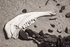 Sable Island wild horse skull with oil spill